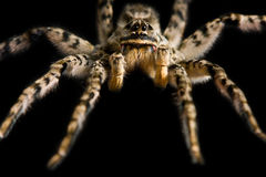 攻击危险致命的蜘蛛 免版税图库摄影