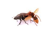 攻击大黄蜂 库存照片
