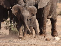 攻击小牛大象令科之鸟 免版税图库摄影