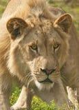 攻击狮子 免版税库存照片