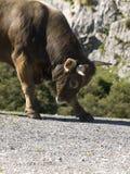 攻击的公牛 免版税图库摄影