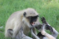 攻击的猴子在公园 图库摄影