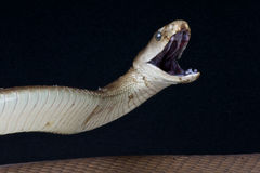 攻击的黑眼镜蛇 库存图片