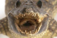 攻击鳄鱼 免版税库存图片
