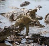 攻击鳄鱼 免版税库存照片