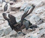 攻击Gentoo企鹅小鸡, Danco海岛,南极半岛的成人布朗贼鸥 免版税库存图片
