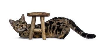 放下和使用与一点板凳的布朗和黑平纹美国人Shorthair猫小猫查找隔绝在白色 免版税图库摄影