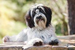 放下在与开放的嘴的木板条的西藏狗狗 免版税库存照片