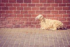 放下在与红砖墙壁的水泥地板上的布朗绵羊在背景中 库存图片