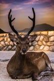 放下在宫岛街道的鹿  免版税库存照片