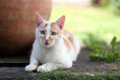 放下在庭院里的幼小白色和红色猫 库存图片