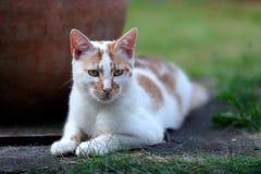 放下在庭院里的幼小白色和红色猫 免版税库存图片