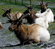 放下在抢救公园的北美驯鹿 库存照片
