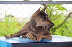 放下在桌上的泰国黑和棕色流浪狗 库存照片
