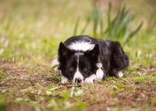 放下在森林里的博德牧羊犬 免版税库存照片