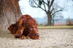 放下在沙子的爱尔兰人的特定装置狗 免版税库存图片