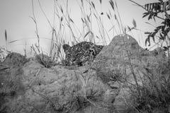 放下在白蚁登上的幼小豹子 免版税库存图片
