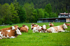 放下在草甸的母牛 免版税库存图片