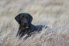 放下在草的一只黑拉布拉多猎犬 免版税库存图片
