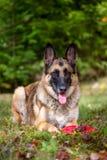放下在草的德国牧羊犬 免版税库存图片