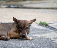 放下在街道上的流浪狗的泰国黑和棕色和白色颜色 免版税图库摄影