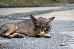 放下在街道上的流浪狗的泰国黑和棕色和白色颜色 库存照片
