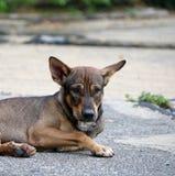放下在街道上的流浪狗的泰国黑和棕色和白色颜色 免版税库存照片