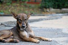 放下在街道上的流浪狗的泰国黑和棕色和白色颜色 免版税库存图片