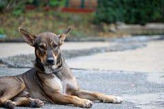 放下在街道上的流浪狗的泰国黑,棕色和白色颜色 免版税库存图片