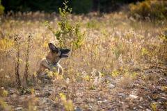 放下在领域的德国牧羊犬 库存图片