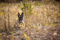 放下在领域的德国牧羊犬 图库摄影