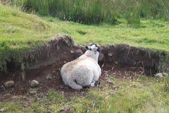 放下在领域的绵羊 图库摄影