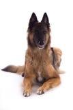 放下比利时牧羊人特尔菲伦的母狗,白色演播室backgr 免版税库存图片