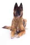 放下比利时牧羊人特尔菲伦的母狗,白色演播室backgr 免版税库存照片