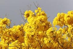 绽放与灰色天空的细节黄色ipe 库存图片