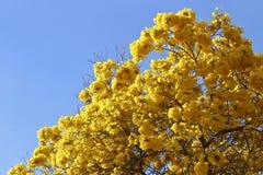 绽放与蓝天的细节黄色ipe 免版税库存照片