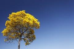 绽放与蓝天的细节黄色ipe 库存照片