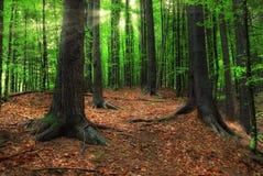放光喀尔巴阡山脉的森林星期日 免版税库存照片