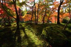 放光通过槭树秋天森林的秋天阳光在绿色青苔上的 免版税库存图片
