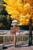 放出,黄色秋天ginko树在Baekdudaegan山脉 图库摄影