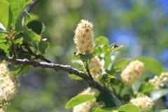绽放在Lamoille峡谷的春天 免版税库存照片