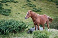 放弃尾巴的一匹棕色马 免版税图库摄影