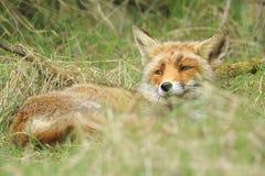 放松一只野生镍耐热铜狐狸的狐狸的特写镜头休息和 免版税库存图片