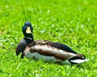 放松公的野鸭 免版税库存照片