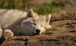 放松北极的狼在阳光下 库存照片