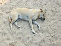 放松和睡觉在沙子海滩的懒惰狗 免版税库存图片