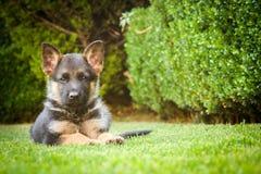 放松在一个温暖的夏日的德国牧羊犬小狗 库存图片
