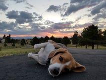 放松在五颜六色的科罗拉多的小猎犬 免版税库存照片