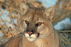 放松在冬天太阳的美洲狮 免版税库存照片
