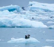 放松在冰的斑海豹 免版税图库摄影